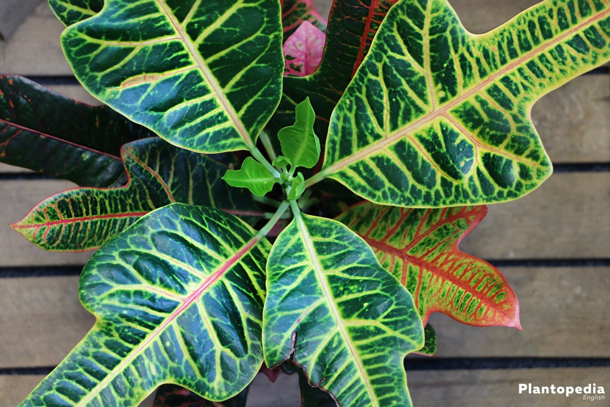 Crotons Codiaeum variegatum  How to Grow and Care for