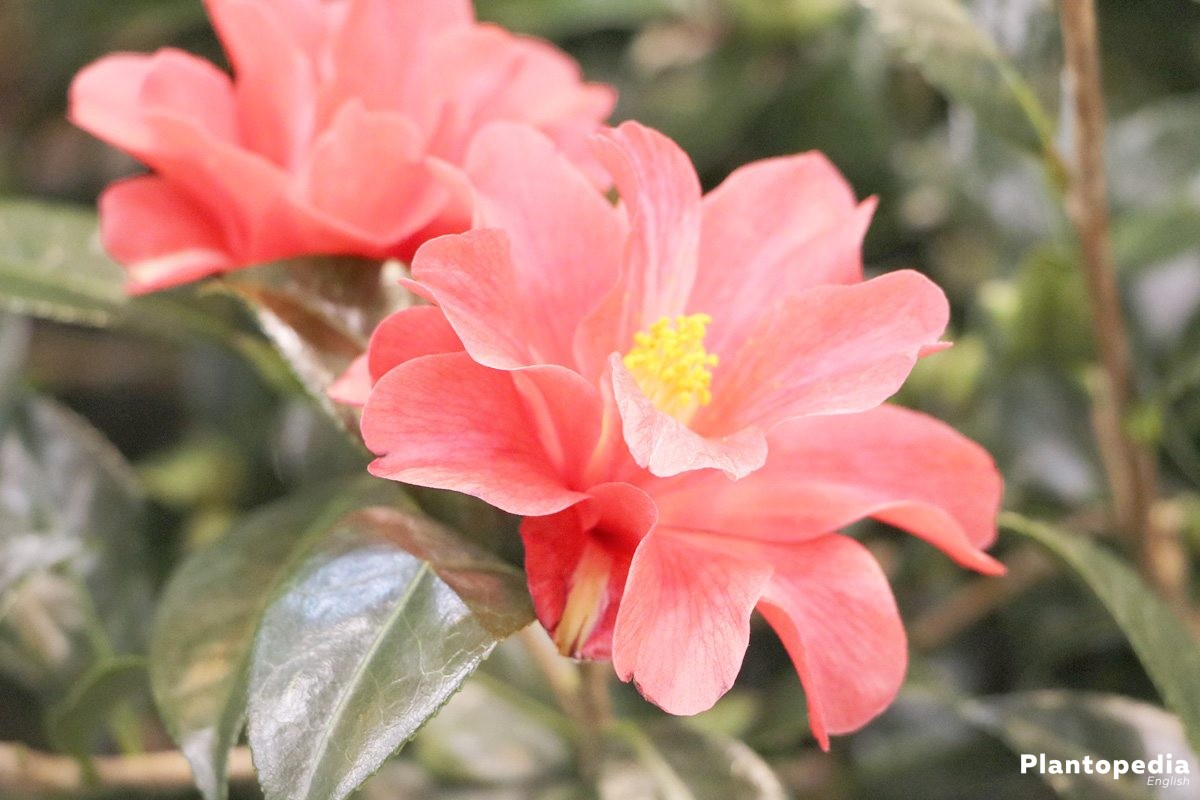 camellia japonica flower how