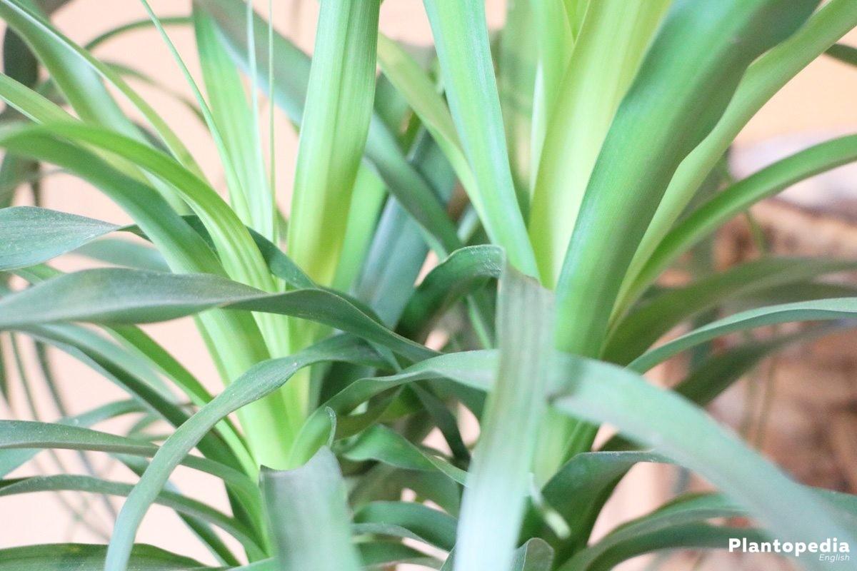 Ponytail Palm Beaucarnea recurvata  How To Plant Care