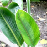 Bird Paradise Flower And Plant Care How To Grow Strelitzia Reginae Plantopedia