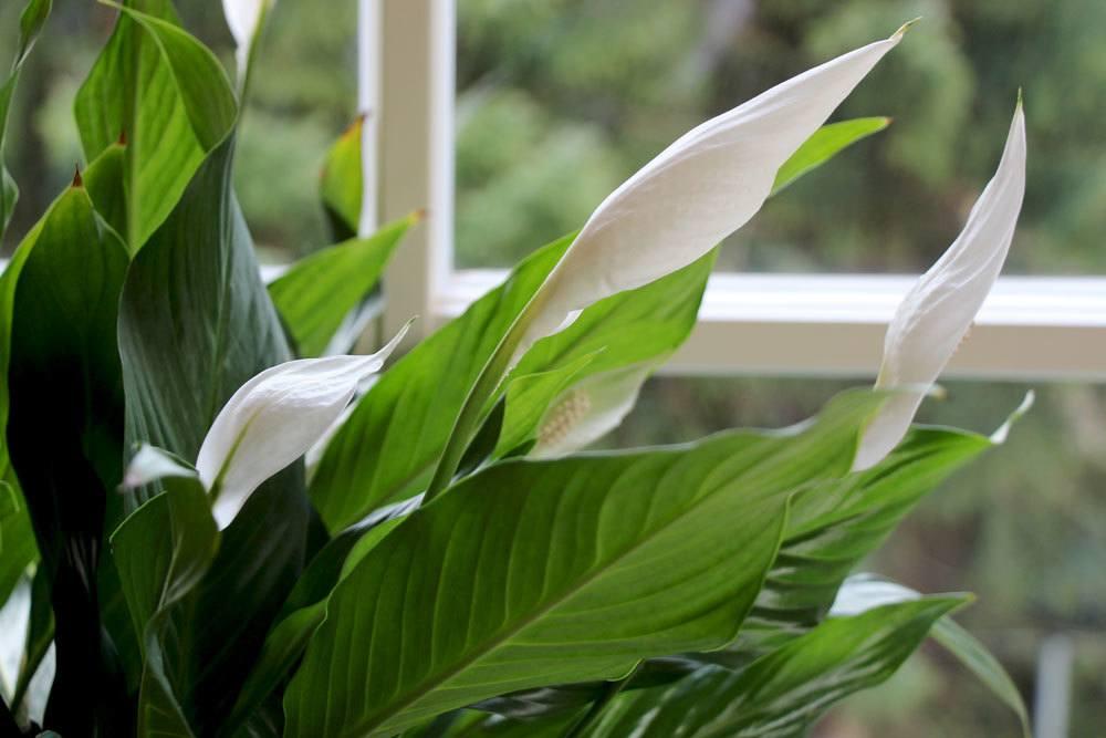 Einblatt so pflegen Sie die beliebte Zimmerpflanze mit weien Blten