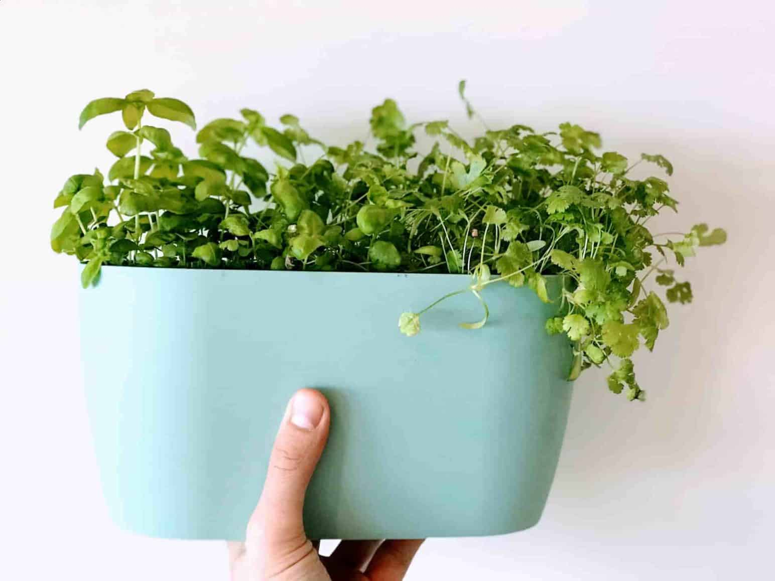 Top 5 Herbs to grow indoors Plantophiles