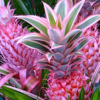 The Genetically Modified Pink Pineapple Is Coming To A Supermarket Near You