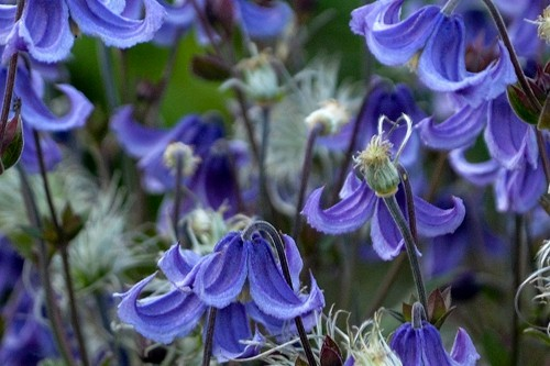 Clematis 'Stand by Me' (bush Clematis)
