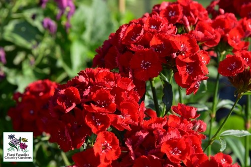 Dianthus 'Scarlet Fever' perennial sweet william