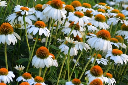 Echinacea 'Pow Wow White' coneflower