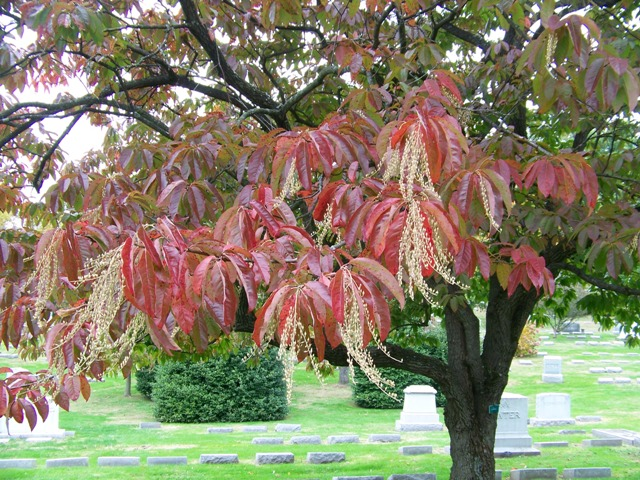 Image result for Oxydendrum arboreum