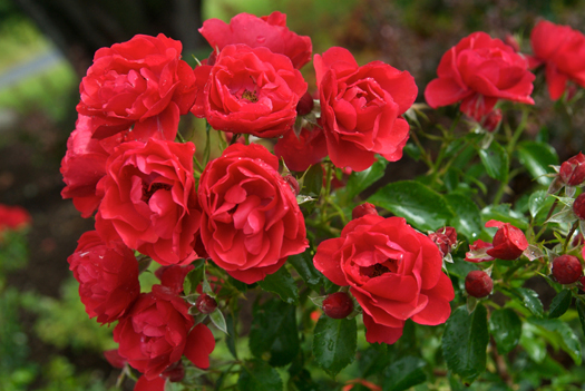 Groundcover rose 'Scarlet'