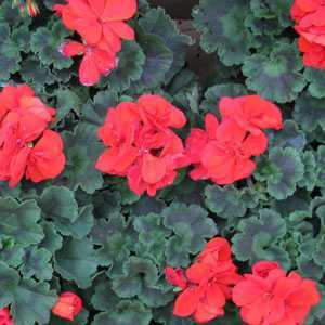Buy Potted Geraniums Online  Summer Bedding Plants For