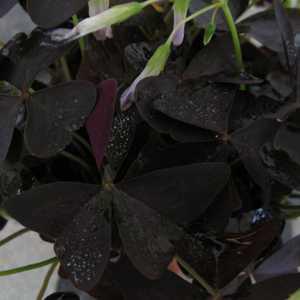 Buy Oxalis Triangularis Online  Cheap Purple Shamrock Plants