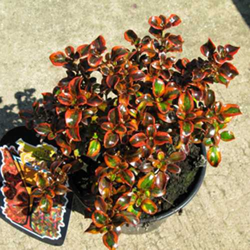 Buy Coprosma Tequila Sunrise  Cheap Coprosma  Plants