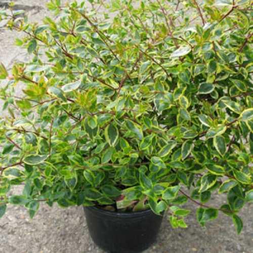Buy Cheap Abelia Grandiflora Sunshine Daydream Online