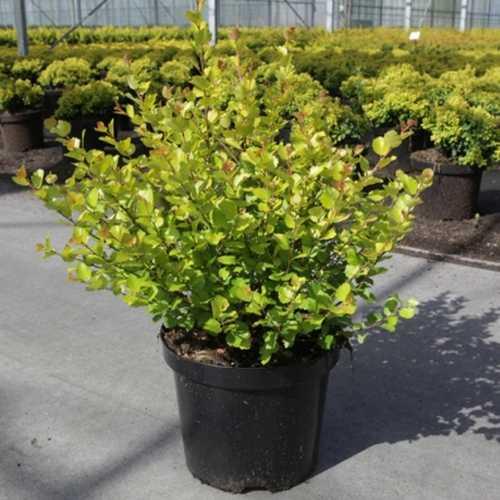 Cheap Betula Nana Golden Treasure Shrubs  Buy Dwarf Birch