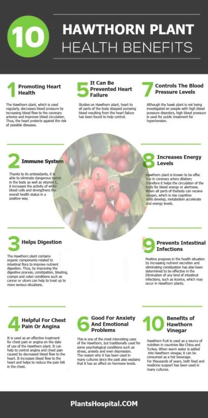 The Incredible Health Benefits Of Hawthorn Plant And ...