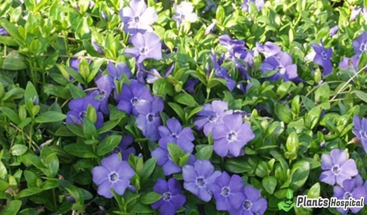 """Beneficios del bígaro """"ancho ="""" 728 """"altura ="""" 427 """"srcset ="""" https://i0.wp.com/www.plantshospital.com/wp-content/uploads/2019/07/Periwinkle-benefits.jpg?w=1140&ssl=1 728w, https: // www. plantshospital.com/wp-content/uploads/2019/07/Periwinkle-benefits-300x176.jpg 300w """"tamaños ="""" (ancho máximo: 728px) 100vw, 728px """"></p> <h2>16 mejores beneficios del bígaro</h2> <ul> <li>Apetitoso</li> <li>Removedor de orina</li> <li>Mata gérmenes y cura heridas</li> <li>Expande vasos</li> <li>Fortalece la memoria y evita el deterioro.</li> <li>Regula la presión arterial.</li> <li>Ayuda a llamar la atención.</li> <li>Calma, calma el nervio</li> <li>Tiene propiedades astringentes vasculares</li> <li>Detiene el sangrado</li> <li>Reduce la pérdida de sangre </li> <li>Previene el sangrado excesivo durante la menstruación.</li> <li>Fortalece el cuerpo</li> <li>Ayuda a tratar la diabetes. </li> <li>Terapéutico en enfermedades de las venas cerebrales.</li> <li>Trata heridas orales</li> </ul> <h2>¿Cómo preparar el té de bígaro? (Vinca Major)</h2> <p>Hervir el <strong>bígaro  </strong>y muérdago en una pizca de agua caliente durante 10-15 minutos, luego beba mientras se calienta. También puedes consumir y mezclar salvia y <strong>bígaro</strong> del mismo modo. Es especialmente beneficioso para las llagas en la boca.</p> <p><strong>Nota:</strong> Debe consumirse no más de 3 veces al día. Se recomienda que las madres que amamantan no beban durante el embarazo.</p> <div class="""
