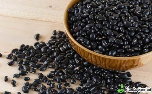 "Frijoles Negros ""ancho ="" 650 ""altura ="" 400 ""srcset ="" https://i0.wp.com/www.plantshospital.com/wp-content/uploads/2019/08/Black-Beans.jpg?w=1140&ssl=1 650w, https: // www. plantshospital.com/wp-content/uploads/2019/08/Black-Beans-300x185.jpg 300w ""tamaños ="" (ancho máximo: 650px) 100vw, 650px ""></p data-recalc-dims="