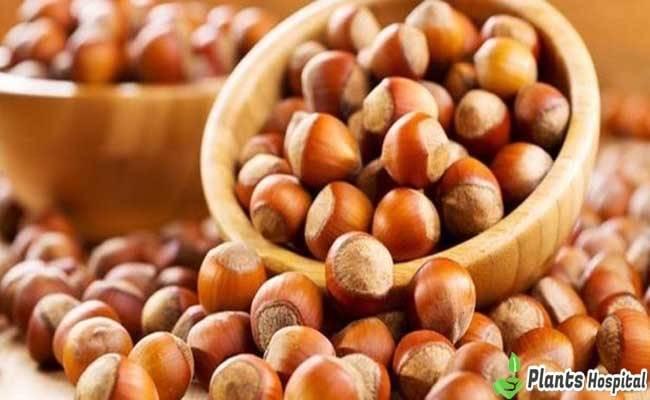 "tuercas ""ancho ="" 650 ""altura ="" 400 ""srcset ="" https://i0.wp.com/www.plantshospital.com/wp-content/uploads/2019/08/nuts.jpg?w=1140&ssl=1 650w, https://www.plantshospital.com/ wp-content / uploads / 2019/08 / nuts-300x185.jpg 300w ""tamaños ="" (ancho máximo: 650px) 100vw, 650px ""></p data-recalc-dims="