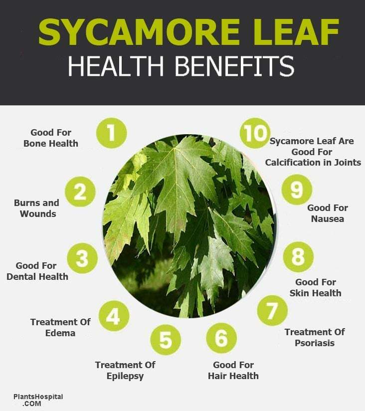 """sycamore-leaf-graphic """"width ="""" 732 """"height ="""" 824 """"srcset ="""" https://i0.wp.com/www.plantshospital.com/wp-content/uploads/2019/08/sycamore-leaf-graphic.jpg?w=1140&ssl=1 732w, https: //www.plantshospital.com/wp-content/uploads/2019/08/sycamore-leaf-graphic-267x300.jpg 267w """"tamaños ="""" (ancho máximo: 732px) 100vw, 732px """"></p data-recalc-dims="""