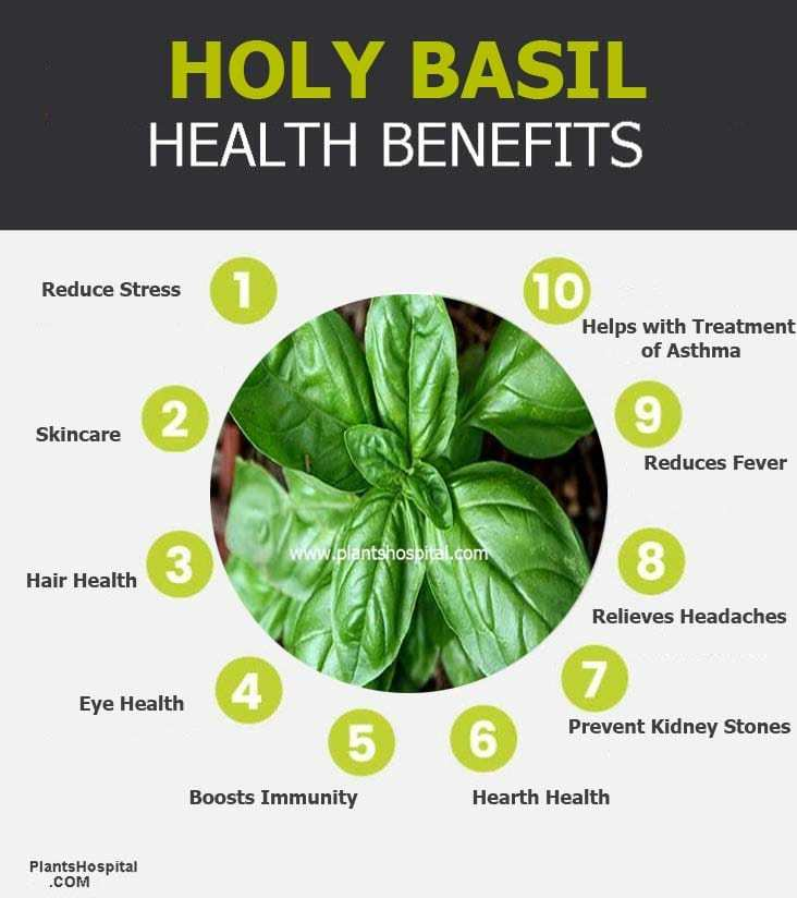 Holy Basil (Tulsi): Health Benefits Uses Side Effects ...