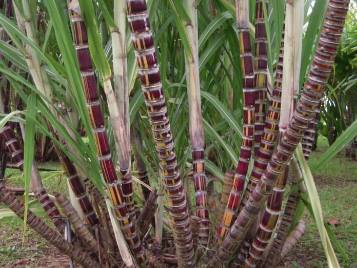 Sugarcane or Saccharum officinarum
