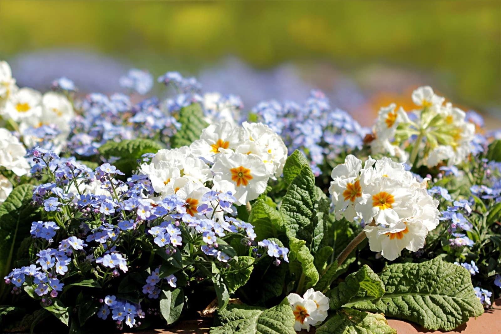 Primeln anbauen Pflanzzeit und Pflege  Plantura
