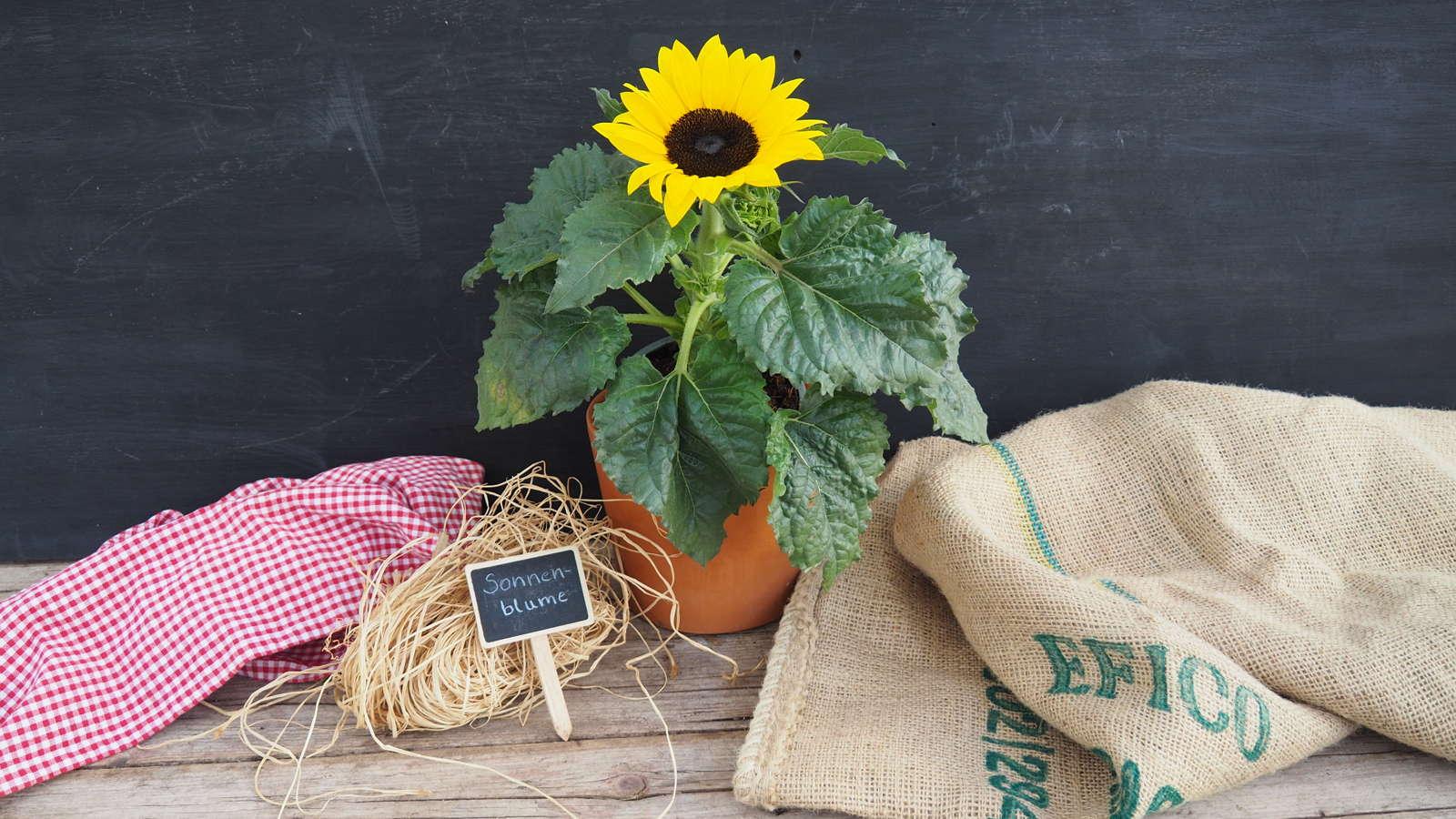 Sonnenblumen pflanzen Anleitung fr Topf Beet  Balkon