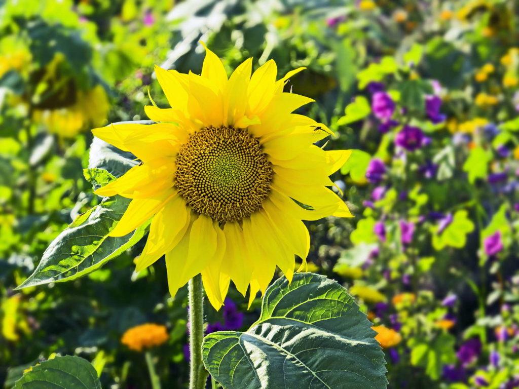 Sonnenblumen Alles zum Pflanzen Pflegen  Ernten  Plantura