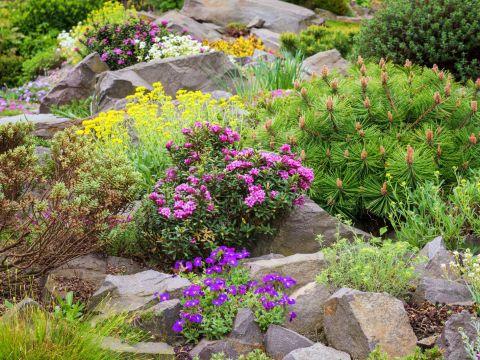 pflanzen für steingarten pflanzen für den steingarten: unsere top  - plantura