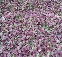 Ajuga reptans, Carpet Bugleweed | PlantVine
