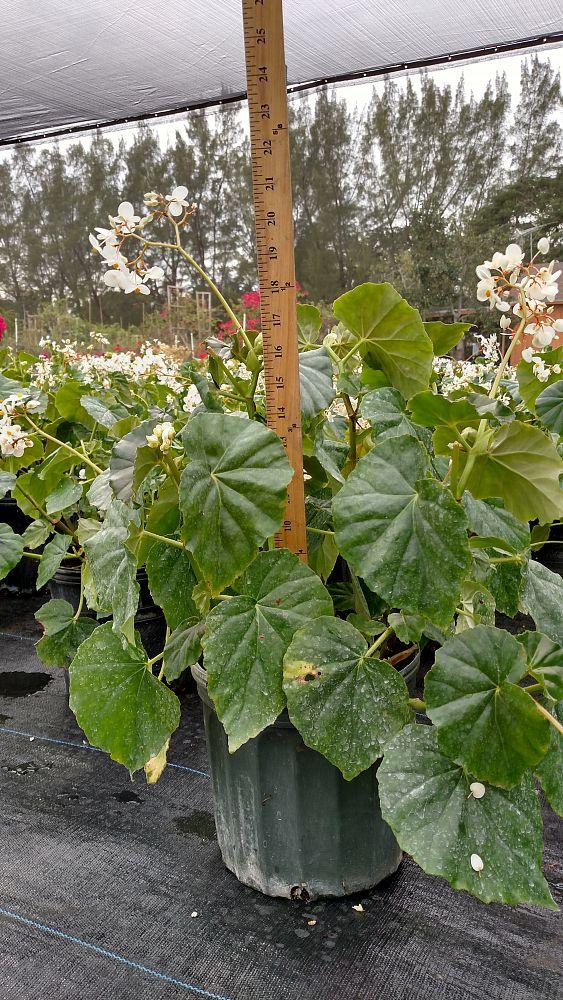 begonia odorata 'alba' white
