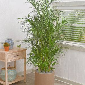 Image result for bamboo palm houseplant