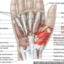 Hand Nerves Diagram Deadlift Muscles Worked Thenar Surgical Anatomy Of Relation To Surrounding Structures In