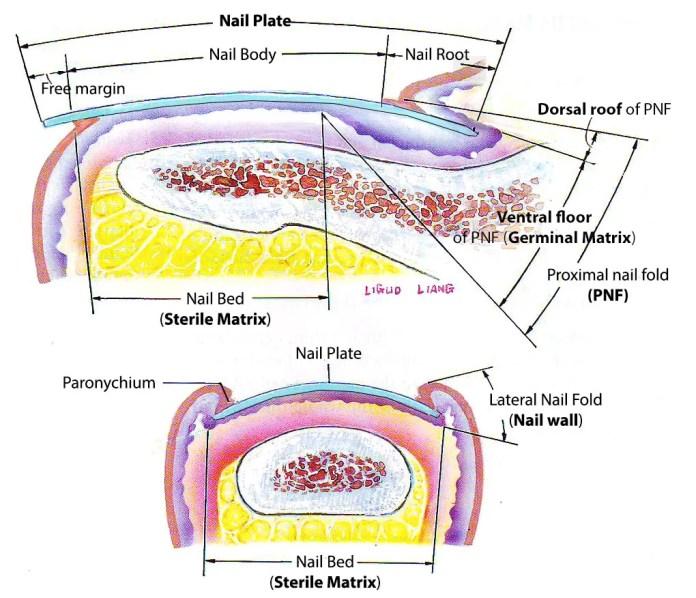 nail plate, nail bed, germinal matrix, sterile matrix, paronychium