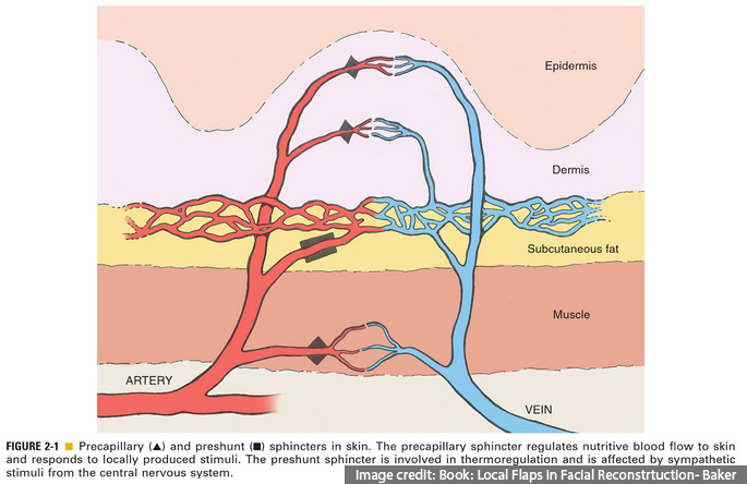 Arterial systems of skin, Pre-capillary and Pre-shunt sphincters