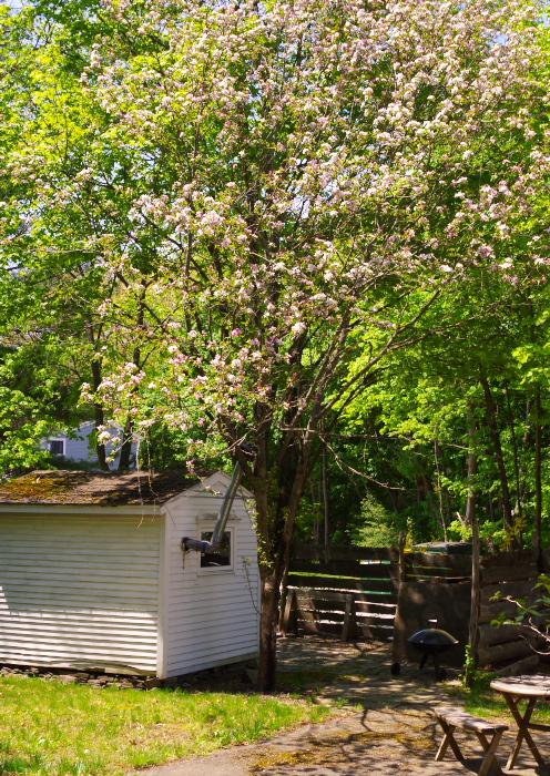 Naomi Yard Tour - Backyard Apple Tree - Plaster & Disaster