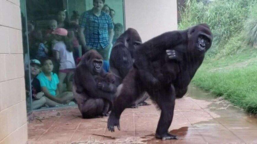 viral-video-gorillas-make-hilarious-effort-to-avoid-rain-at-south-carolina-zoo