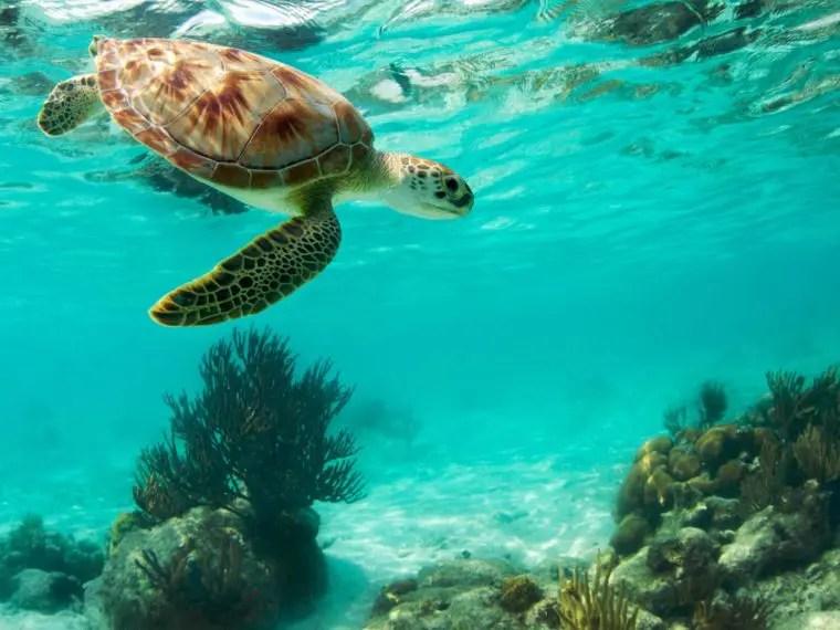 Sea turtles on cozumel