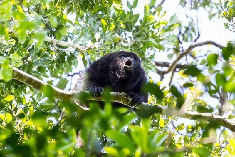 punta laguna howler monkey