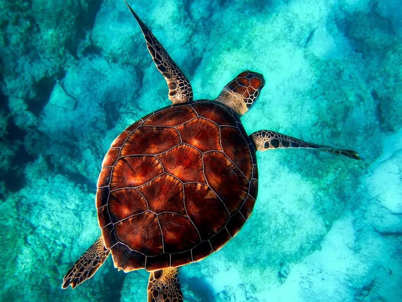 sea turtles in akumal