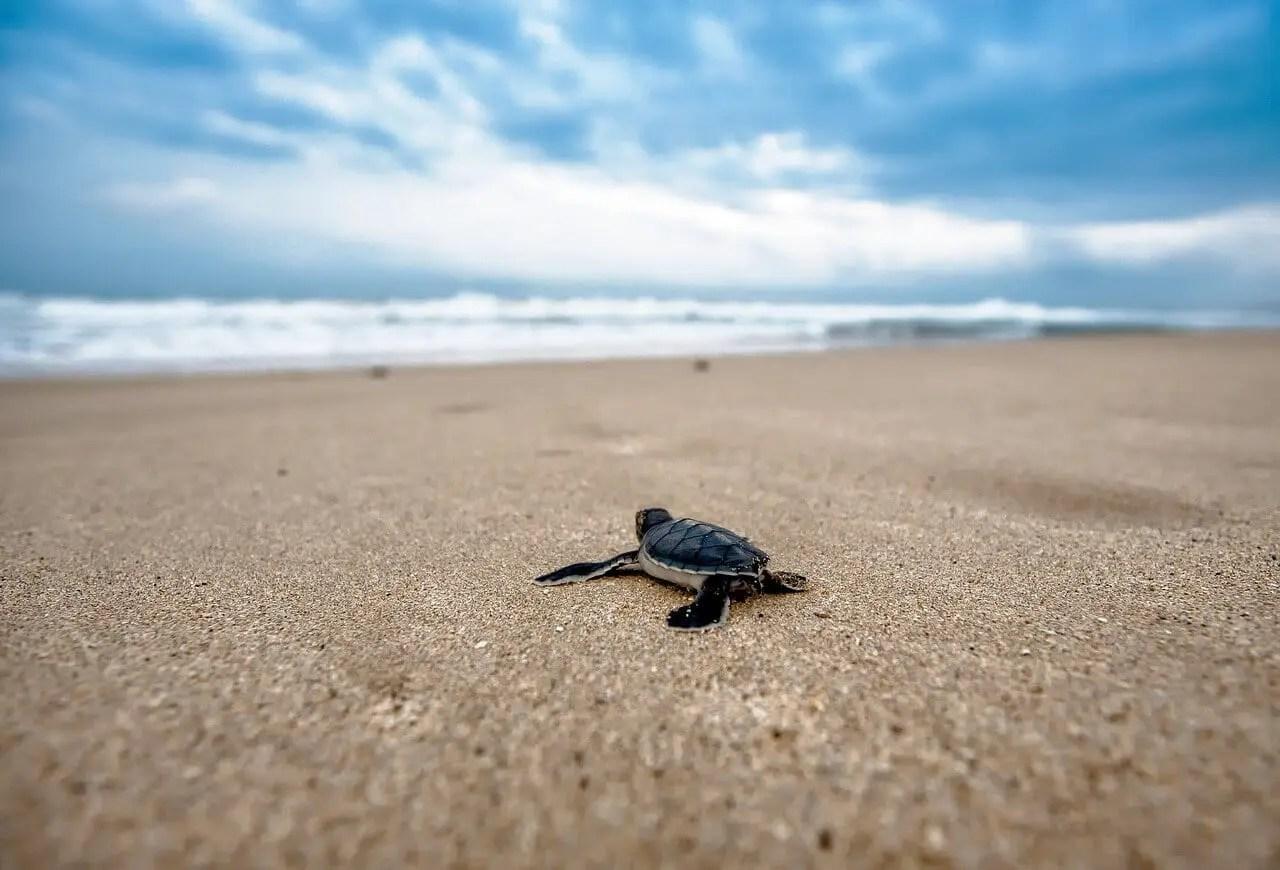 Baby turtle crawling on beach