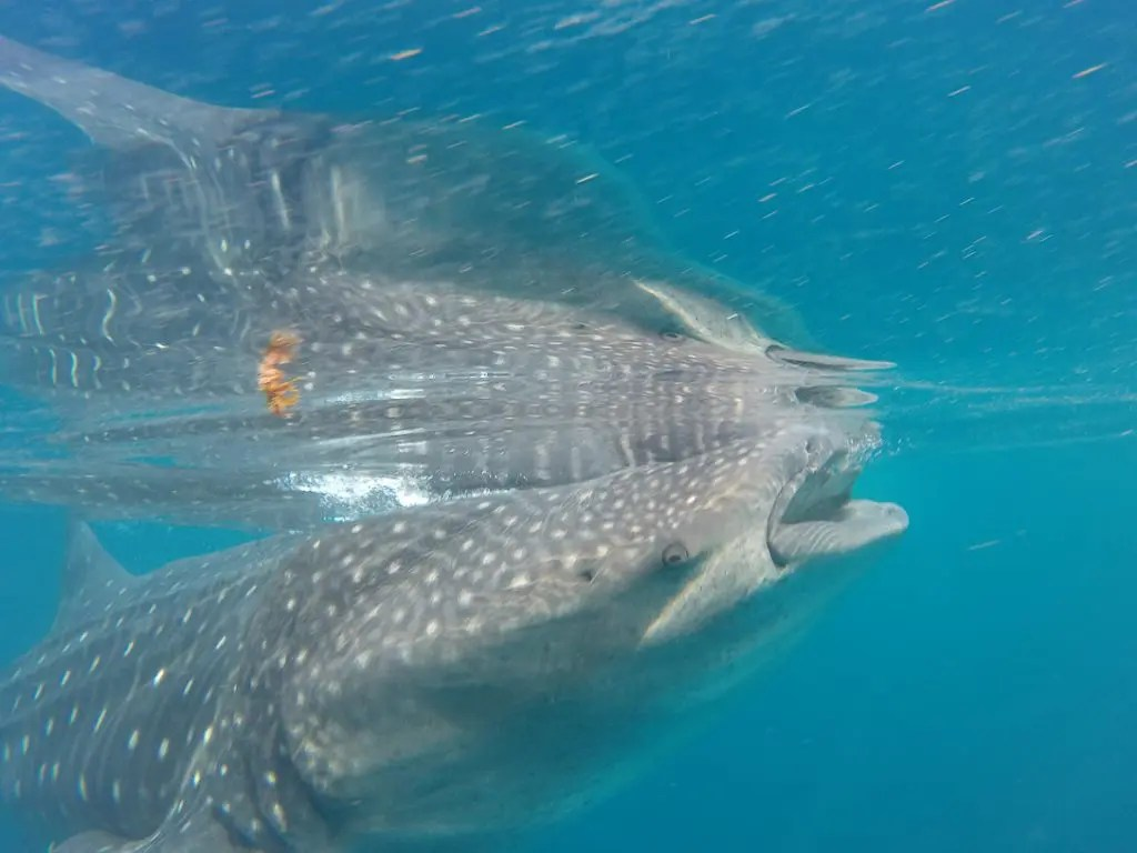 whale shark filter fish mexico