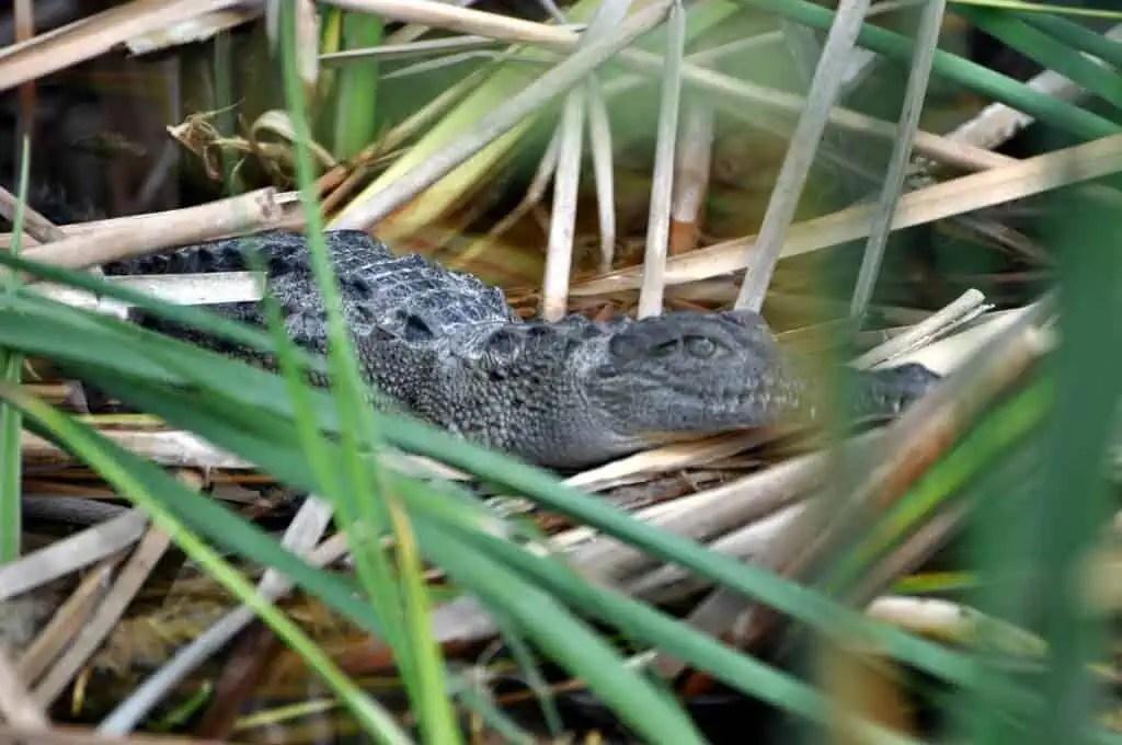 Crocodile in Cuyutlán, Colima