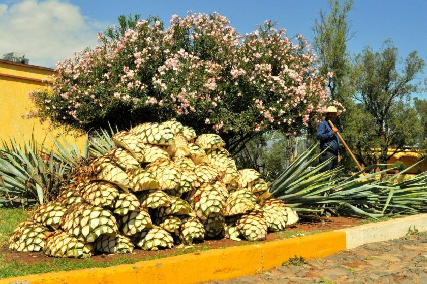 Tequila Jalisco tour at Herradura.  La Jima: Prepping Agaves for Tequila
