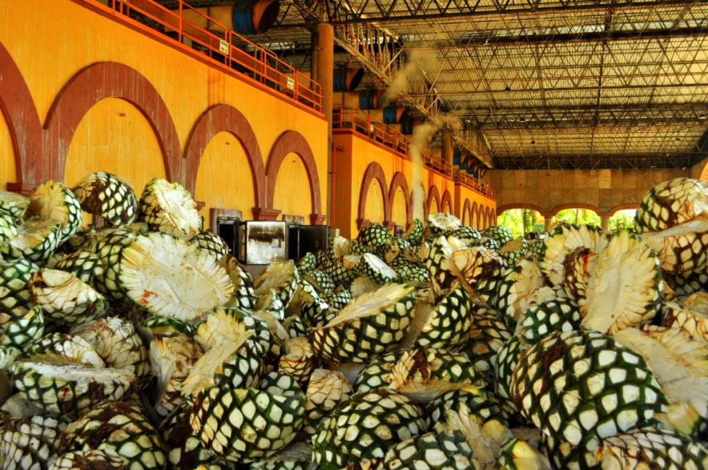 Agaves ready to be cooked