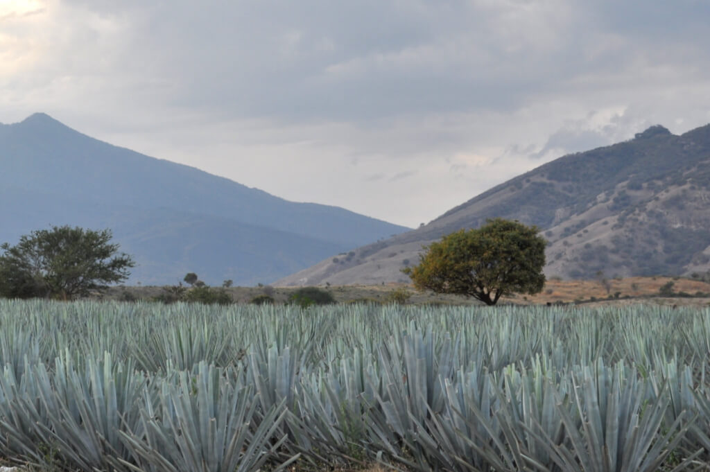 Blue agave in Tequila