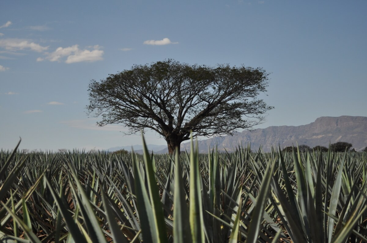 Agave fields outside of Tequila, Jalisco
