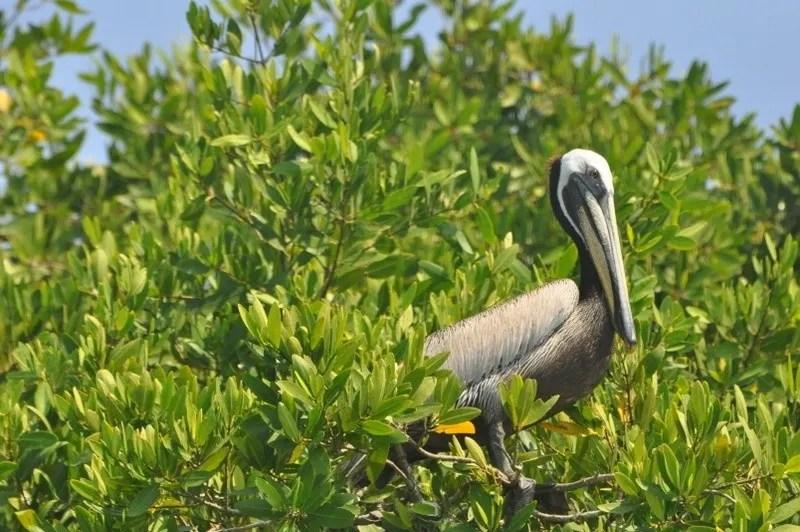 Pelican sitting in tree in Puerto Vallarta