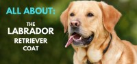 Labrador Retriever Coat  Facts, Care, Grooming ...