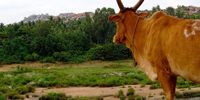 Une vache regarde la riviere a Hampi dans le karnataka en Inde