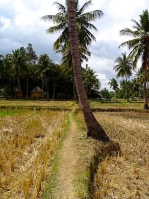 les rizieres a hampi dans le karnataka en inde